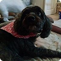Adopt A Pet :: Sierra - Plainview, NY