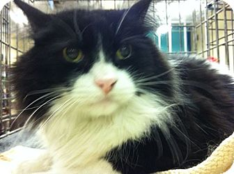 Maine Coon Cat for adoption in Pittstown, New Jersey - Spike