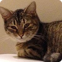 Domestic Shorthair Cat for adoption in Jacksonville, North Carolina - Delaney