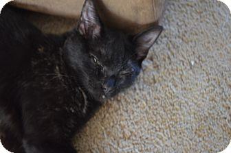 Domestic Shorthair Kitten for adoption in Statesville, North Carolina - Jaden
