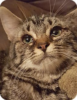 Domestic Shorthair Kitten for adoption in Rockford, Illinois - Sleepy
