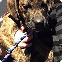 Adopt A Pet :: Marten in CT - Manchester, CT