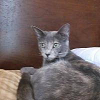 Domestic Shorthair Cat for adoption in el mirage, Arizona - Jewel
