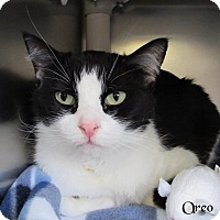 Domestic Shorthair Cat for adoption in Jackson, New Jersey - Oreo