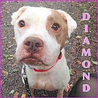 Adopt A Pet :: DIAMOND - Tinton Falls, NJ