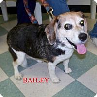 Adopt A Pet :: BAILEY - Ventnor City, NJ