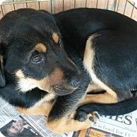 Labrador Retriever/Shepherd (Unknown Type) Mix Puppy for adoption in Fairfax Station, Virginia - Nathan