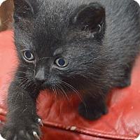 Adopt A Pet :: Samanta - Mississauga, Ontario, ON
