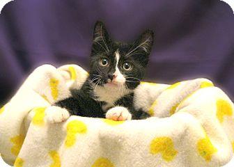 Domestic Shorthair Kitten for adoption in Richmond, Virginia - Teaco