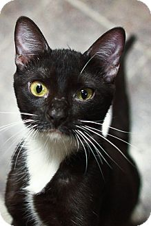 Domestic Shorthair Cat for adoption in St. Petersburg, Florida - Denny