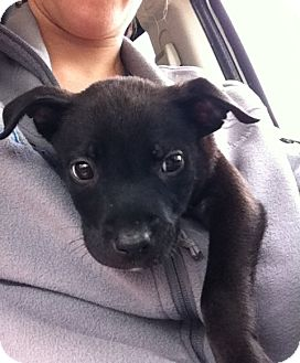 Labrador Retriever Mix Puppy for adoption in Gainesville, Florida - Piglet
