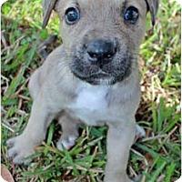 Adopt A Pet :: Zeus - Orlando, FL