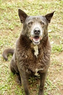 German Shepherd Dog/Chow Chow Mix Dog for adoption in Rossville, Tennessee - Velvet