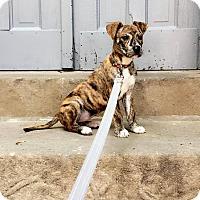 Adopt A Pet :: Livi - Chicago, IL