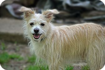 Fox Terrier (Wirehaired)/Cairn Terrier Mix Dog for adoption in Staunton, Virginia - Buster
