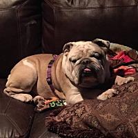 English Bulldog Dog for adoption in Santa Ana, California - Bob