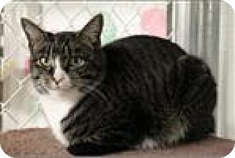Domestic Shorthair Cat for adoption in Freeport, New York - Fluffy