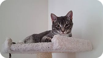 Domestic Shorthair Cat for adoption in Huntley, Illinois - Little Sister
