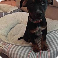 Adopt A Pet :: Matie - MCLEAN, VA