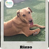 Labrador Retriever Mix Dog for adoption in Plainfield, Illinois - Rizzo the Lab