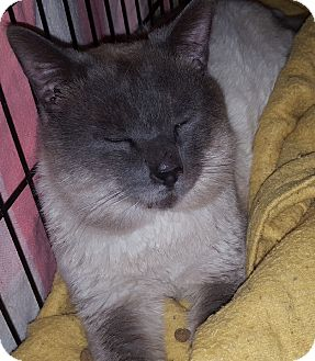 Siamese Cat for adoption in brewerton, New York - Bugsy