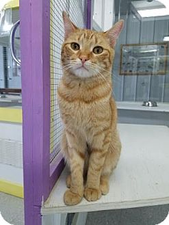 Domestic Shorthair Cat for adoption in Freeport, Illinois - Winston