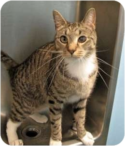 Domestic Shorthair Cat for adoption in New York, New York - Flanders