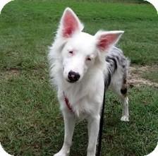 Australian Shepherd Dog for adoption in Wilmington, Massachusetts - Pixie Sticks/Sophie