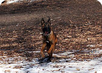 Belgian Malinois Dog for adoption in Grand Rapids, Michigan - Ranger