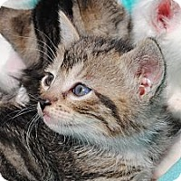 Adopt A Pet :: Kittens - Palmdale, CA