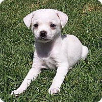 Adopt A Pet :: Tiny Faye - La Habra Heights, CA