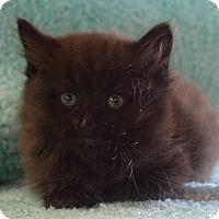 Adopt A Pet :: Nate - Reston, VA