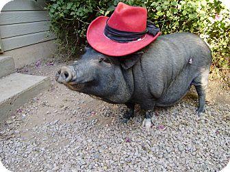 Pig (Potbellied) for adoption in Scottsdale, Arizona - Tootsie