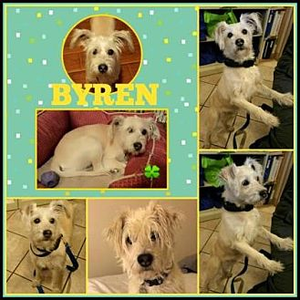 Standard Schnauzer Mix Dog for adoption in Scottsdale, Arizona - Byren