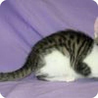 Domestic Shorthair Cat for adoption in Powell, Ohio - Sheba