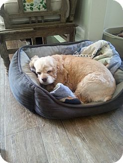 Cocker Spaniel Dog for adoption in Dothan, Alabama - Nina