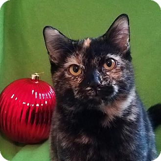 Domestic Shorthair Kitten for adoption in Colfax, Iowa - Tori