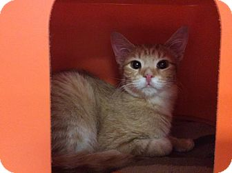 Domestic Shorthair Kitten for adoption in Janesville, Wisconsin - James