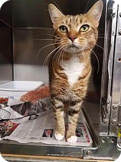 Domestic Shorthair Cat for adoption in Dickinson, Texas - Sugar