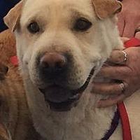 Shar Pei/Labrador Retriever Mix Dog for adoption in Barnegat Light, New Jersey - Zena