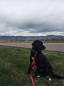 Anatolian Shepherd/Labrador Retriever Mix Dog for adoption in Colorado Springs, Colorado - Duke