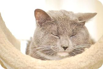 Russian Blue Cat for adoption in Trevose, Pennsylvania - Milo