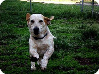 Basset Hound/Labrador Retriever Mix Dog for adoption in Fort Riley, Kansas - Barney