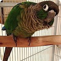 Adopt A Pet :: BELLA - Mantua, OH