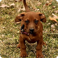 Adopt A Pet :: Maddy - Brattleboro, VT