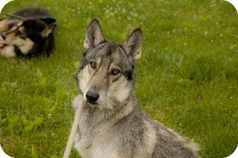 Siberian Husky Mix Dog for adoption in Harvard, Illinois - Cheyenne (and Harley)