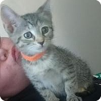 Adopt A Pet :: Vessa - Raritan, NJ