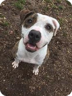Pit Bull Terrier Mix Dog for adoption in Louisville, Kentucky - Persimmon
