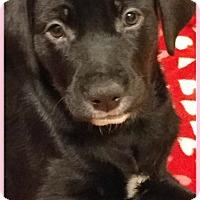 Adopt A Pet :: Dolce - Elburn, IL
