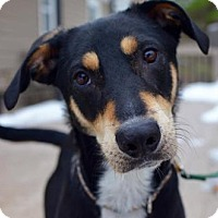 Adopt A Pet :: Ollie - Baltimore, MD